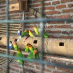 Cara Beternak Lovebird Agar Cepat Produksi